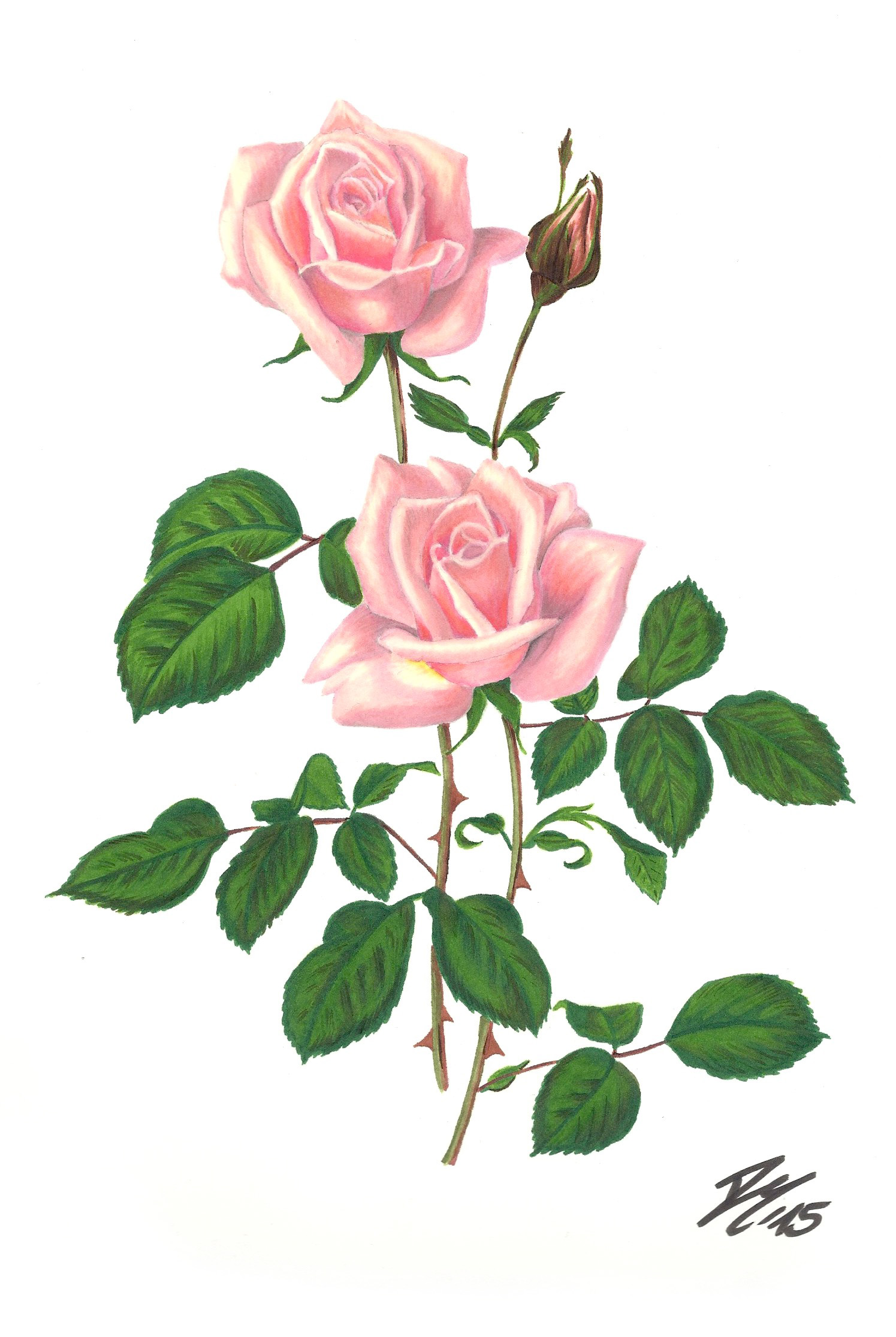 Roses Flower Drawing Color